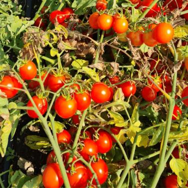 Pomodori Ciliegino al Kg-...