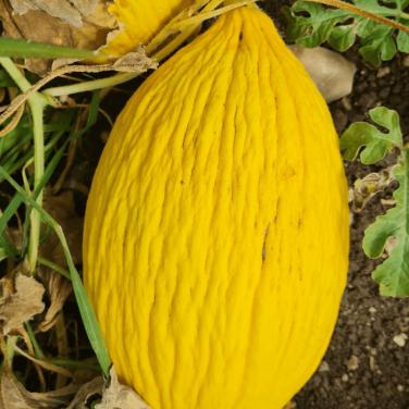 Melone Giallo al pz.-...